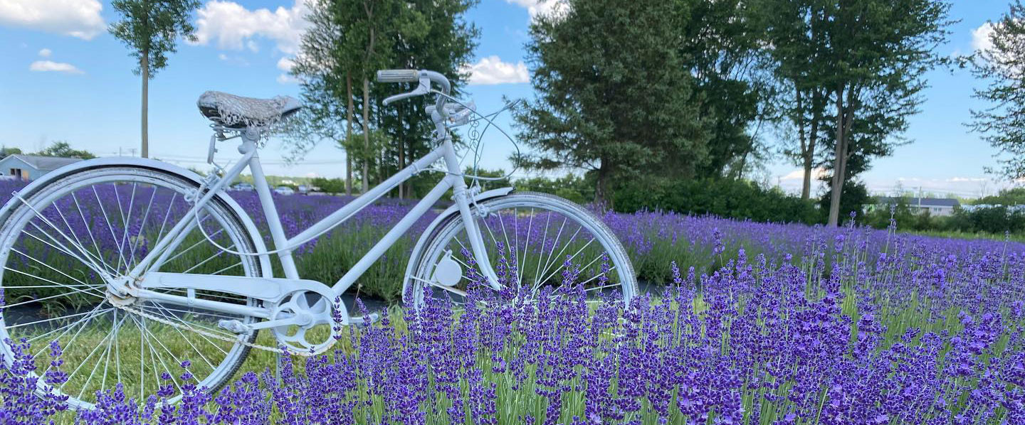 Explore the Fragrant Fields of Lavender